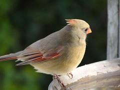 DSC01268 (rhombidec) Tags: female cardinal baltimore sonydschx100v