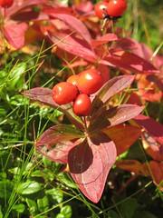 Zweedse Kornoelje - Swedish Cornel (naturum) Tags: autumn fall geotagged sweden lappland herfst september lapland sverige hst zweden 2011 kungsleden norrbotten cornussuecica zweedsekornoelje swedishcornel geo:lat=6777344033 geo:lon=1828733325
