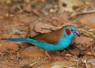 Red-cheeked cordon-bleu - male