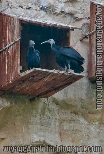 Critically Endangered Northern Bald Ibis at Birecik
