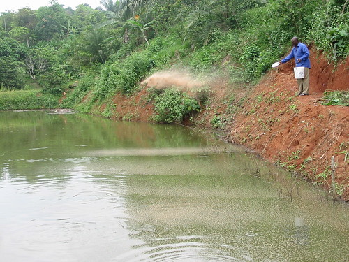 Feeding fish in an aquaculture pond in Cameroon. Photo by Randall Brummett, 2004