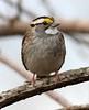 White-throated Sparrow (AllHarts) Tags: whitethroatedsparrow spac hollyspringsms goldwildlife pogchallengewinnershalloffame pickyourart naturespotofgoldlevel2 stunninganimalsandbirds naturespotofgoldlevel1 naturespotofgoldlevel3