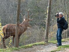 L'animal i el fotògraf (queropere) Tags: fort gran tossut banyes mascle cèrvol queropere e3olympus zd50200mmf2835 reclamarmollóparc hervíbor