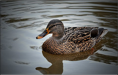 FEMALE MALLARD (Shaun's Nature and Wildlife Images....) Tags: ducks mallard shaund