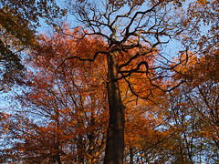 Autumn Oak (Keith.w1) Tags: november autumn tree oak 2011 broadbottom