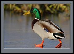 Cold Feet! (Rainbirder) Tags: mallard anasplatyrhynchos lochofkinnordy rainbirder