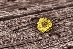 Yellow flower (Indigo Skies Photography) Tags: wood flower color nature beautiful yellow table photography petals spring stem colorful flickr timber gorgeous australia nails newsouthwales bolts nectar lovely hdr murraydowns nikond90 nikonafnikkor50mmf18d raychristy