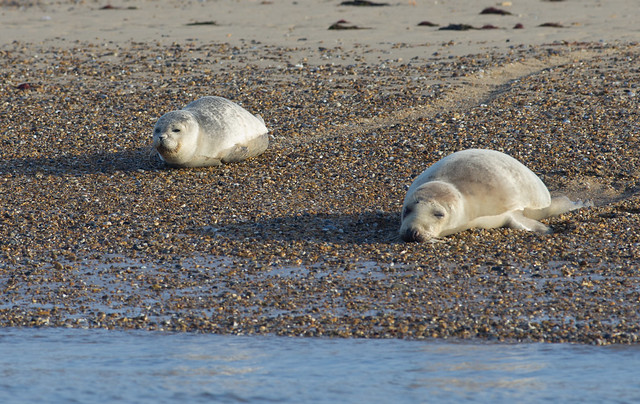 blakeney common seals on beach
