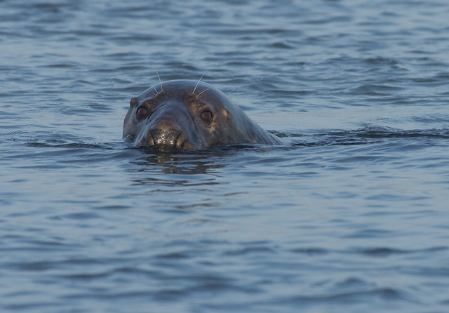 blakeney grey seal in water best 2