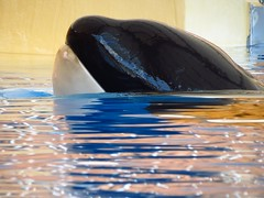 Loro Parque (lvalgaerts) Tags: tenerife spain loroparque killerwhale whale orca canaryislands island santacruz atlantic ocean