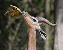 Southern Gerenuk at Wild Animal Park in Escondido-57 2-24-09