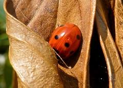 Taking shelter.... (Frans Schmit) Tags: ladybird mygarden