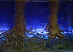 Feeding the fish (JanDeDe) Tags: blue fish feet water thailand asia underwater health massage chiangmai pedicure spa vis treatment voeten behandeling fishspa jandede