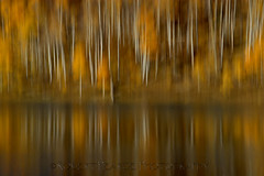 Reflected Aspen Abstract, Utah (Robert Pearce Photography) Tags: autumn trees white abstract detail fall water leaves yellow reflections landscape gold utah nikon grove earth reflected motionblur bark aspens zion trunks aspen earthtones kolob nikond200 robertpearce robertpearcephotography