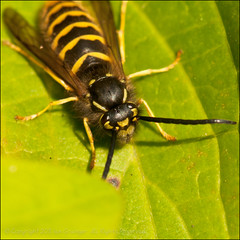 Wasp Warming (*ian*) Tags: hairy macro green eye nature closeup bug hair insect square leaf wasp head wildlife leg wing stripe favourite striped antennae greenleaf blackandyellow bigemrg