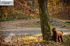 labradoodle (2) (Australijskie Labradoodle Wlochata Pasja) Tags: doodle labradoodle therapydogs dudle australianlabradoodle australijskilabradoodle labradoodleaustralijski allergyfriendlydogs