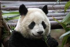 CHINA Sichuan Province Chengdu Sichuan Giant Panda Sanctuaries Chongquing Tour 3204 AJ20