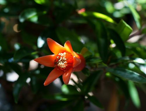 ザクロ開花