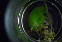 (Jo Sanderson-Mann) Tags: flower green cup water glass dark circle leaf stem tea drink mint herbaltea herb herbal circular greenleaf elderflower sambucusnigra elderflowerandminttea goodforhayfever