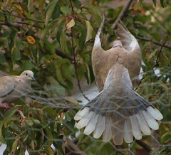 Collared Dove In Flight (aaron_eos_photography) Tags: summer tree nature birds garden inflight pigeon dove goldfinch sunday july bluesky wingspan overhead doves collareddove gardenwildlife wingspread nygerseed birdwildlife