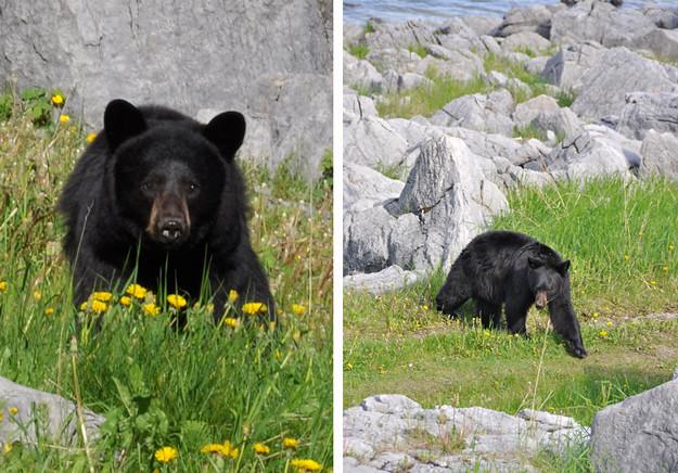 bears-wider