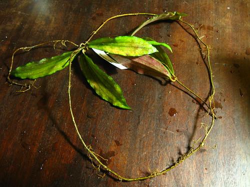 Hoya erythrina (IML 0511)