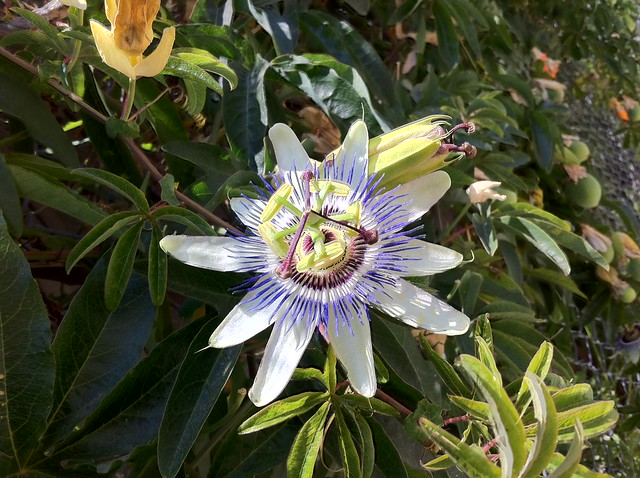 Passion flower on a chain link fence, LA's sexiest summer bloom.