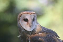 Pacific Northwest Raptor: Owl