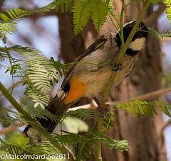 IMG_6265 (malcolm jardine2011) Tags: bahrain bulbul whitecheeked
