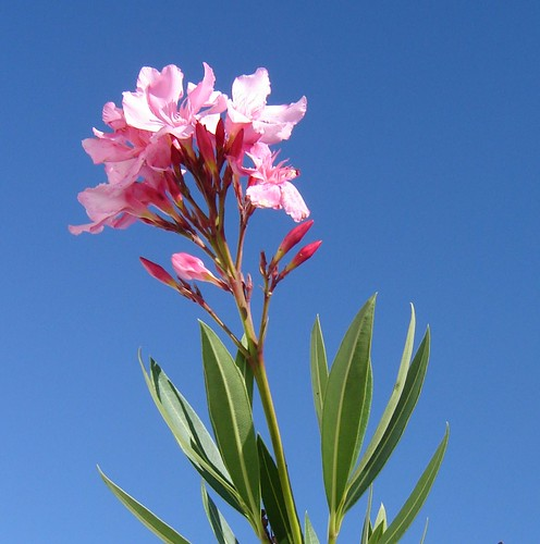Oleander Kroatiassa by Anna Amnell