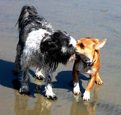 Furry Love, Dog Beach, San DIego (moonjazz) Tags: california cute love beach dogs wet fur kiss funny emotion adorable smell sweetheart paws amuse cannine musictomyeyeslevel1