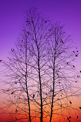 Branches sunset |   (  | Ghali Al Mubarak) Tags: camera sunset silhouette canon lens photography branches kingdom saudi arabia 1855mm eso          50d