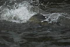 Salmon Breeching The Water
