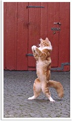 Darf ich um den nchsten Tanz bitten? - May I have the next dance? (Jorbasa) Tags: red orange pet rot animal cat germany deutschland ginger dance hessen oscarwilde tanz mainecoon katze kater tier tomcat wetterau cc100 jorbasa redtabbywhite