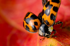 Ladybird-1 (levent_eryilmaz) Tags: red orange macro 50mm flying leaf wings nikon f14 ladybird manual nikkor kenkoextensiontube d7000 leventeryilmaz