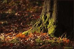 22okt11: herfst in het bos. (guus timpers) Tags: sun tree forest licht groen herfst boom bos rood zon herfstkleuren bruin zonlicht lichtval herfstplaat