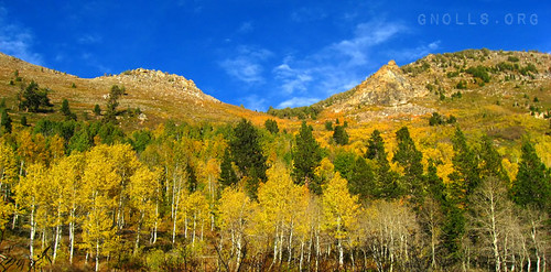 Aspens in full golden fall colors on the mountainside
