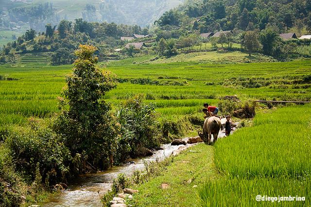Campo de arroz en Sapa, Vietnam