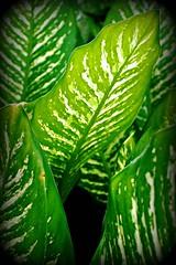 ~TropicalFoliageOnOahu,Hawaii#2~ (TravelsThruTheUniverse) Tags: tropical tropicalplants zengardens waikikioahu oahuhawaii tropicalgardens honoluluoahu tropicalfoliage flowersfoliage tropicallandscapes tropicalgardenslandscaping tropicalflowersfoliage alamoanabayoahu