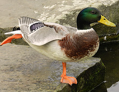Duck Ballet (*Gitpix*) Tags: ballet macro bird nature animal animals closeup foot tiere duck leg natur bein balance makro ente tier vogel gettyimages fus nikoncoolpix balancieren tobalance