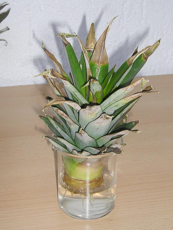 The world 39 s best photos of kindel and zimmerpflanze - Hangepflanze zimmerpflanze ...