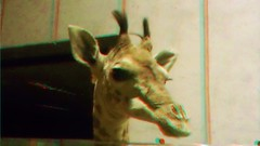 DSC00068-a (somewhereishere) Tags: animal museum 3d stuffed display anaglyph stereo giraffe export 3dcamera redcyan stereophotomaker mhsfs3 bloggie3d sonybloggie3d