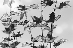 Dco (Maryse Algoet) Tags: automne herfst otoo dcoration blackwhitephotos nikond90 digiphotopro