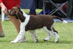 IMG_151 (Tried n True) Tags: show new dog white black english wales groom championship october open south sydney champion australia canine nsw winner spaniel springer liver castlehill association 2011