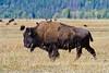 Bison & Buddies (txcraig75) Tags: wyoming bison grandtetonnationalpark bisonbison gtnp tetoncounty canon400mmf4do elkranchflats canon7d wolffranchroad