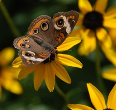 339e buckeye on susans by jjjj56cp, on Flickr