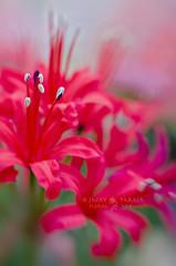 Nature's Fireworks (Jacky Parker Photography) Tags: red portrait plant flower art floral vertical bulb lensbaby garden flora bright vibrant creative bloom softfocus orientation cerise nerine naturte