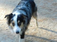 DSCN0031 (rlg) Tags: november dog male animal mammal 05 indigo saturday 1105 australianshepherd indi 2011 fpr 175years nikonp500 201111 11052011 20111105