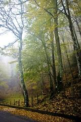 Nebbia autunnale (Andrea Rapisarda) Tags: wood italy mist fall nature colors fog foglie nikon italia ngc foggy natura sicily nebbia autunno sicilia nationalgeographic bosco allrightsreserved parcodeinebrodi d7000 andrearapisarda andrearapisardaphotography