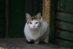 Another street cat with attitude (Ester Meerman) Tags: cats cat egypt cairo stray strays straycat straycats streetcat khanelkhalili streetcats